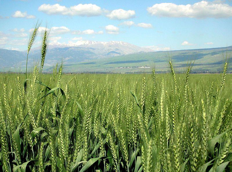 WheatIsrael